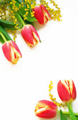 Red with yellow tulips and mimosa — Stock Photo
