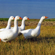 Domestic geese - Stock Photo