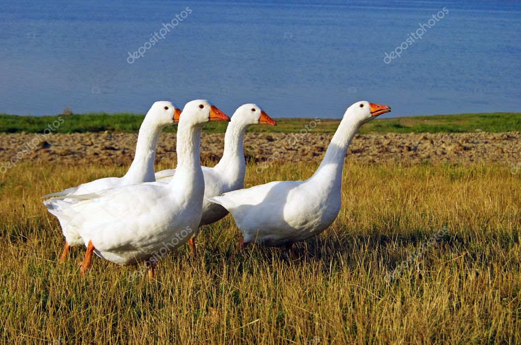 White domestic geese on the lake shore  Stockfoto #1152870
