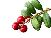 Little shining mature cowberry (isolated) — Stock Photo