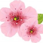 Cherry blossom flowers — Stock Vector
