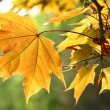 Stock Photo: Orange autumn maple leaves
