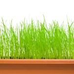 Zielona trawa na białym tle nad białym — Zdjęcie stockowe