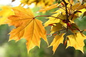 Orange autumn maple leaves — Stock Photo