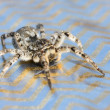 Gray Wolf Spider - Stock Photo