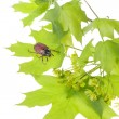 May beetle on young maple leaves — Stock Photo #1376417
