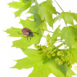 Stock Photo: May beetle on young maple leaves