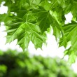 Stock Photo: Spring Maple leaves