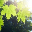 Spring Maple leaves — Stock Photo #1376426