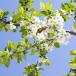 Spring Plum or Cherry leaves and blossom - Stock Photo