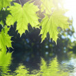 Spring Maple leaves — Stock Photo #1407094
