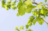 Spring Hazel or Elm leaves — Stock Photo