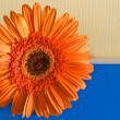 Orange flower on the yellow-dark blue ba — Stock Photo