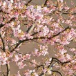 Cherry tree — Foto de Stock