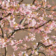 Cherry tree — Stockfoto