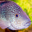 Stock Photo: Fancy spotted fish