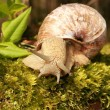 Snail on moss — Stock Photo