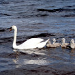 White swan with chicks — Stock Photo