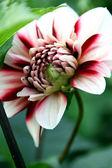 Pink and white dahlia — Stock Photo