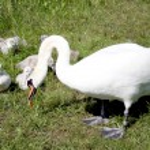 Swan family — Stock Photo #1194229