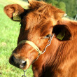 Young calf - Stock Photo