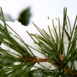 Pine branch under snow - Stock Photo