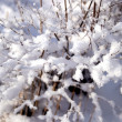 Stock Photo: Branchs covered with snow