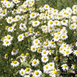 Beautiful white camomilies field — Stock Photo