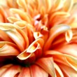 Orange and Salmon Dahlia - Stock Photo