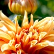 Orange dahlia and bud - Stok fotoğraf