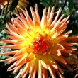 Radiant dahlia — Stock Photo