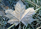 Maple leaf with hoarfrost — Stock Photo