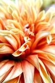 Orange and Salmon Dahlia — Stock Photo