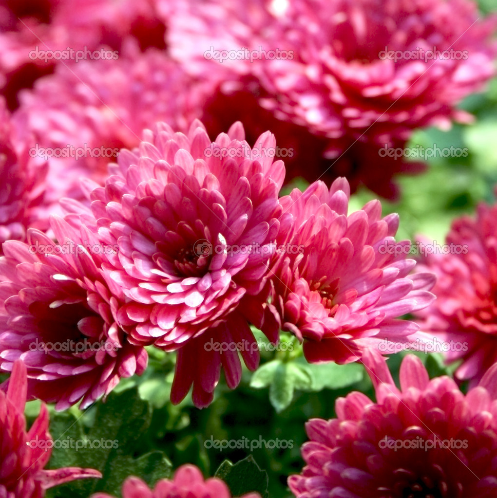 Beautiful pink chrysanthemums close-up — Stock Photo #1241401
