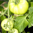 Stock Photo: Growing green tomatoes