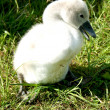 Little swan chick on meadow — Stock Photo