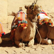 Camels — Stock Photo #1267392