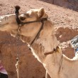 Camel — Stock Photo #1267408