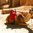Stock Photo: Resting camel