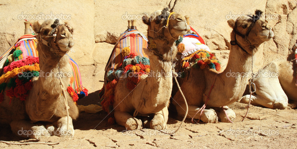 A resting camels used for tourist transportation posing for the camera. — Stock Photo #1267392