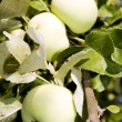 Apples White pouring in garden — Stock Photo