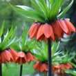Stock Photo: Orange spring flowers