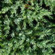 Green thuja and water droplet — Stock Photo