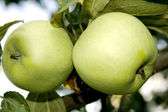 Two large green apples — Stock Photo