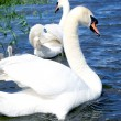 Swan family — Stock Photo