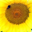 Yellow sunflower — Stock Photo #1297096