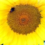 Yellow sunflower — Stock Photo #1297096