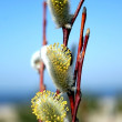 Royalty-Free Stock Photo: Pussy willow