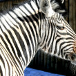 Grevy's Zebra — Stock Photo