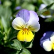 Coloured pansies — Stock Photo